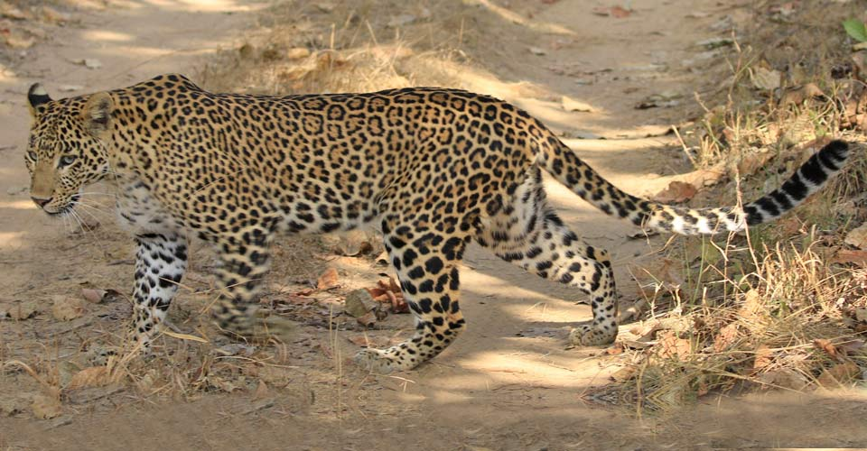 Indian leopard, Ranthambore National Park, India