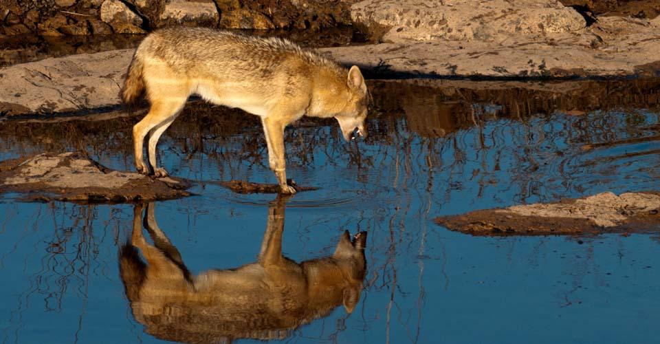 Indian jackal, Ranthambore National Park, India