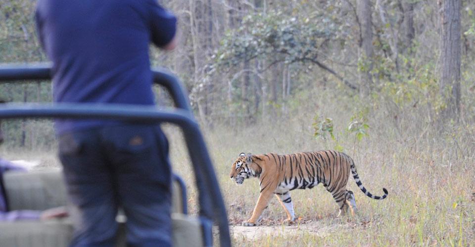 Bengal tiger, Ranthambore National Park, India