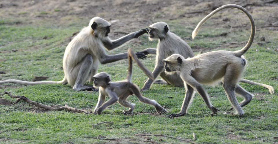 Black faced langurs, Ranthambore National Park, India
