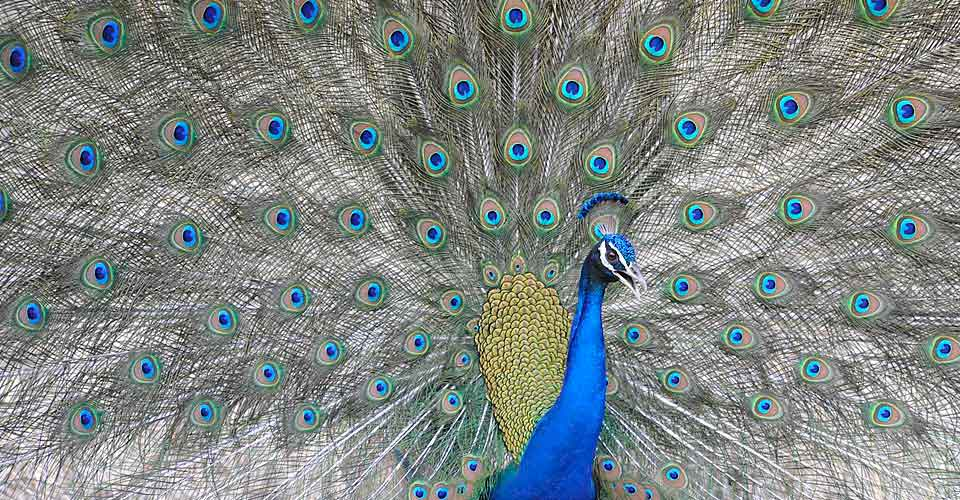 Indian peafowl, Ranthambore National Park, India