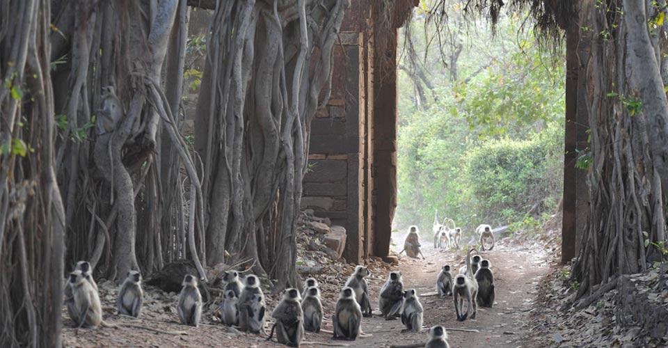 Black faced langurs, Ranthambore National Park, India