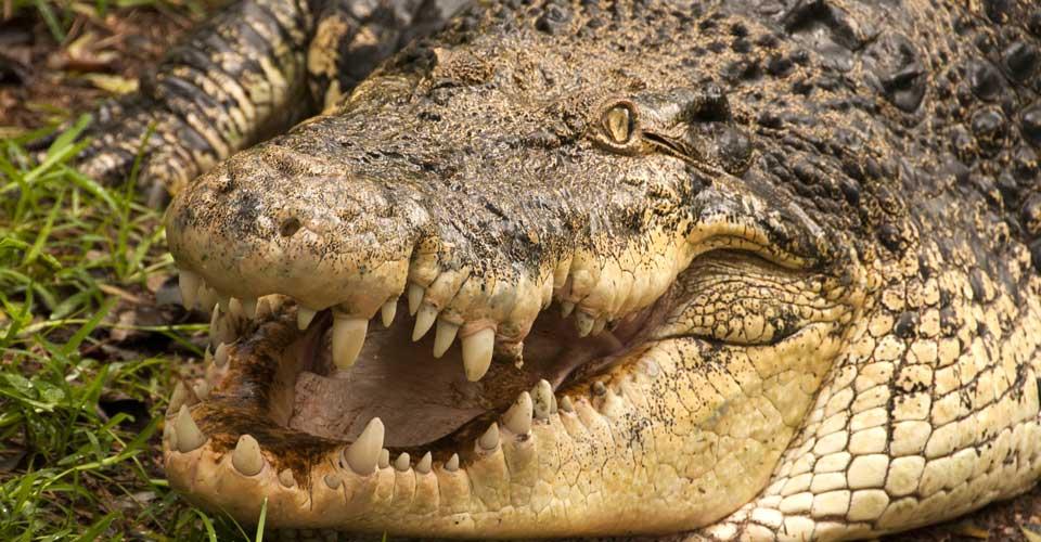 Mugger crocodile, Ranthambore National Park, India