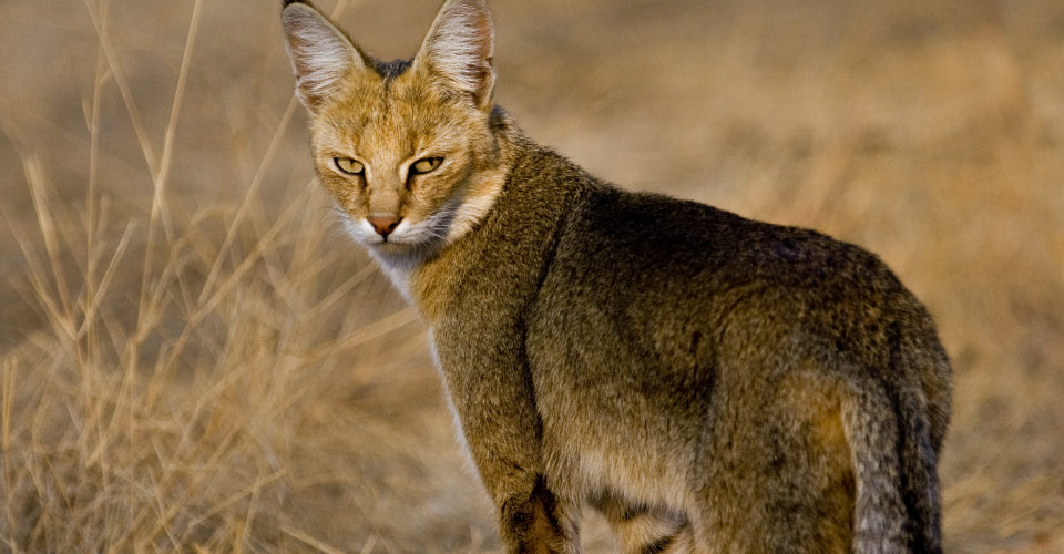 Jungle cat, Ranthambore National Park, India