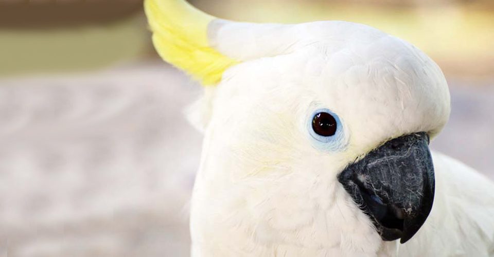 Sulphur-crested cockatoo, Indonesia