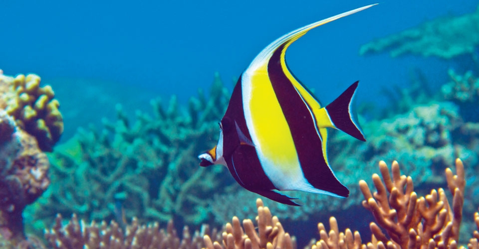 Moorish Idol, Raja Ampat, Indonesia