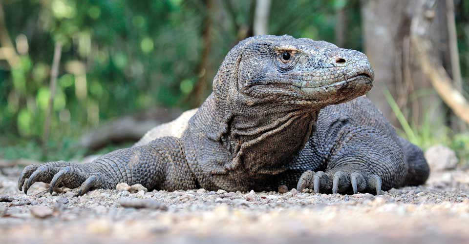 Komodo dragon, Komodo Island, Indonesia