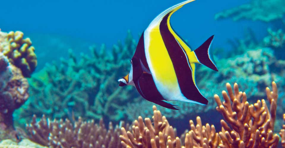 Moorish idol, Yamdena Island, Tanimbar Islands, Indonesia