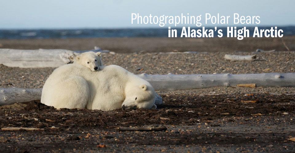 Polar Bears, Kaktovik, Alaska, USA