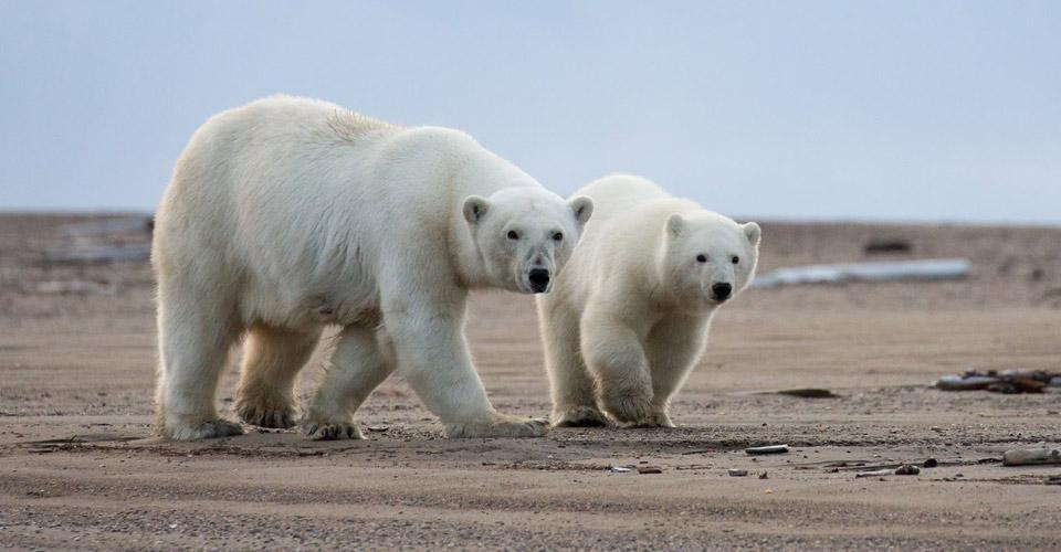 Polar Bears, Kaktovik, Alaska