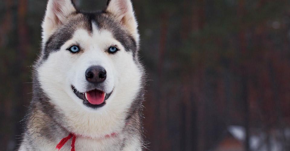 Sled Dog, Kaktovik, Alaska