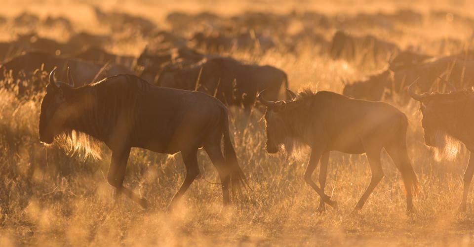 Wildebeest migration, Maasai Mara National Reserve, Kenya