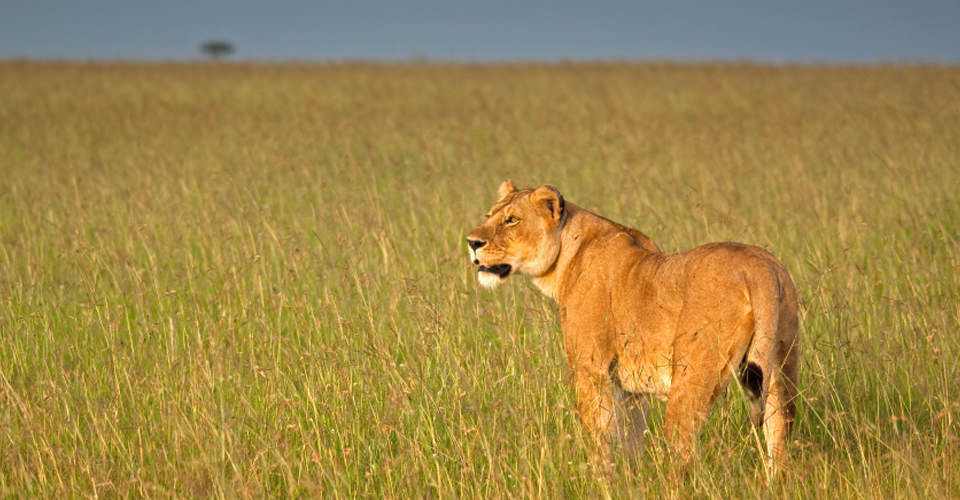 Lion, Maasai Mara National Reserve, Kenya