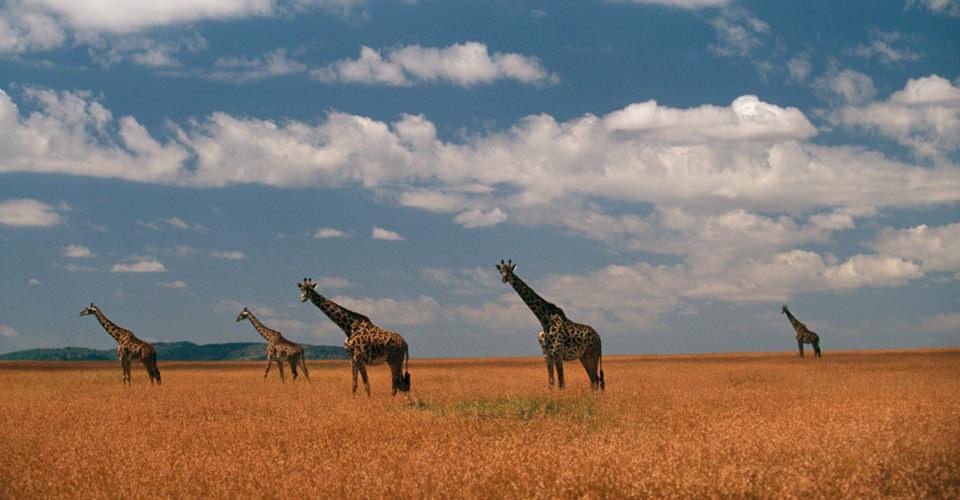 Maasai giraffe, Maasai Mara National Reserve, Kenya