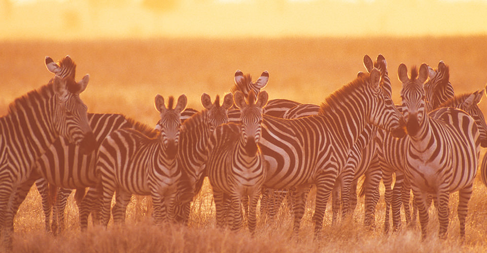 Burchell's zebra, Naboisho Private Conservancy, Maasai Mara, Kenya