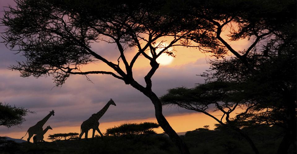 Maasai giraffe, Naboisho Private Conservancy, Maasai Mara, Kenya