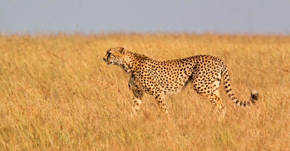 Cheetah, Maasai Mara National Reserve, Kenya