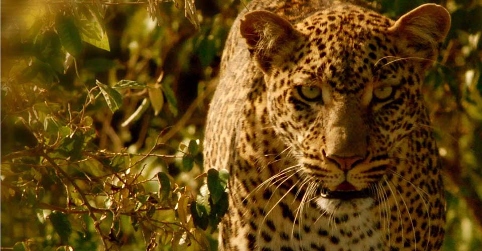 Leopard, Naboisho Private Conservancy, Maasai Mara, Kenya