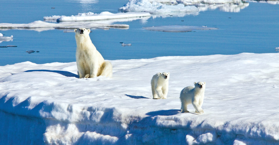 Polar bear and cubs, Svalbard