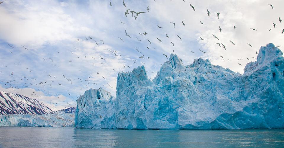 Kitiwakes, Monaco Glacier, Svalbard
