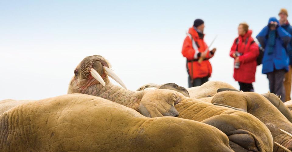 Walruses, Svalbard