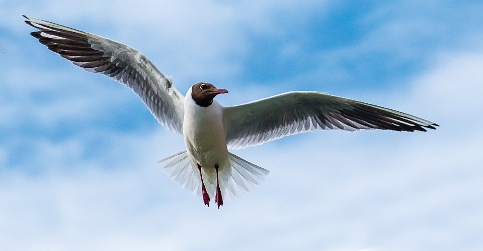 Black-headed gulls, Siglfjordur, Iceland