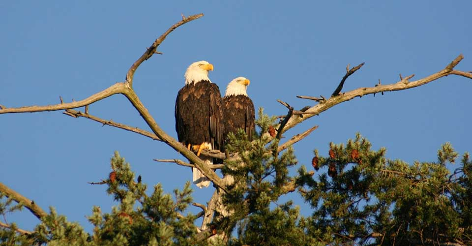 Bald eagles, British Columbia