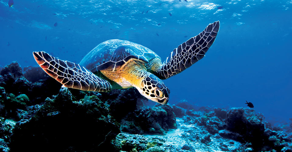 Sea turtle, South Pacific