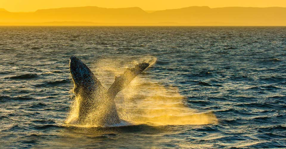 Whales & Wildness: Spring in the Sea of Cortez
