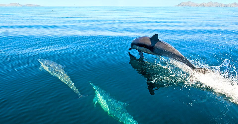 Long-beaked common dolphins, Baja California, Mexico