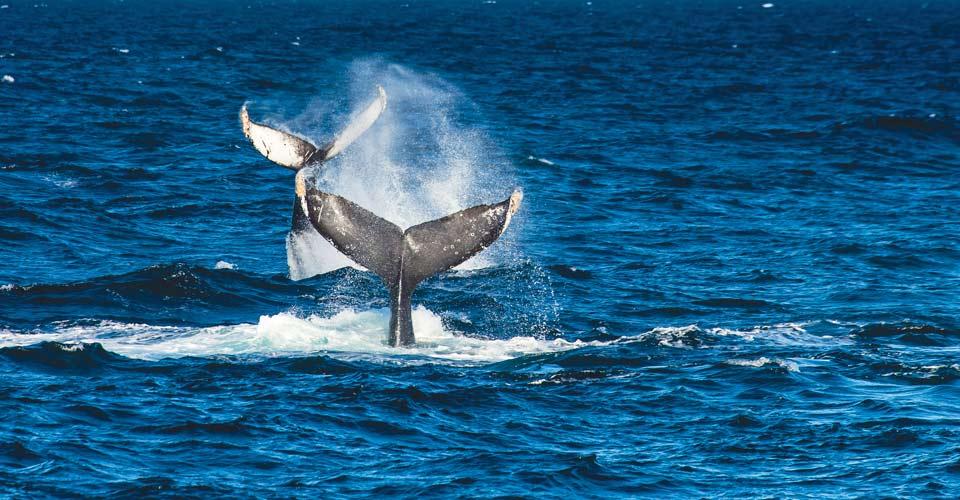 Humpback whales, Baja California, Mexico