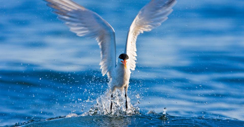 Elegant tern, Gulf of California, Mexico