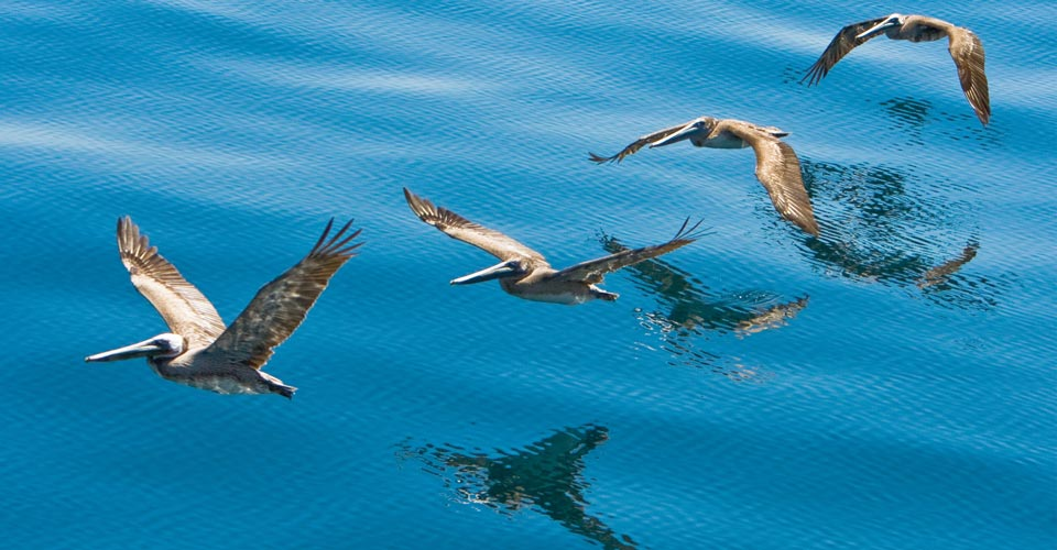 Brown pelicans, Baja California, Mexico