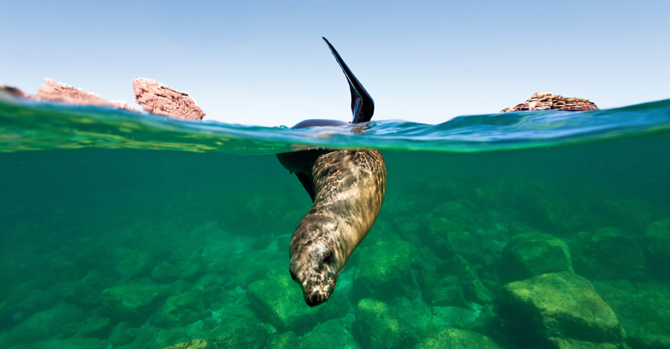 California sea lion, Gulf of California, Mexico