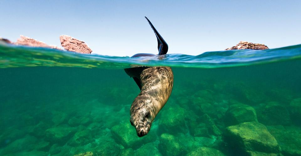 California sea lion, Gulf of California, Mexico