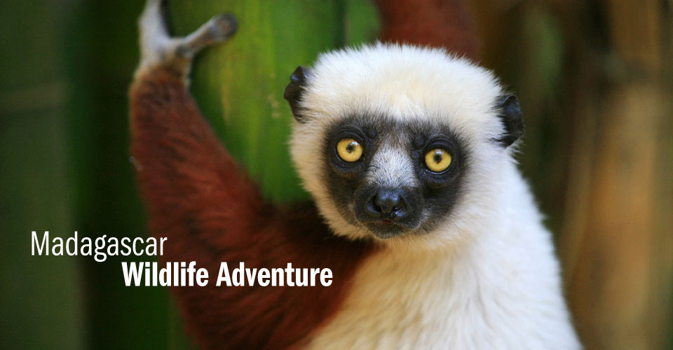 Coquerel's sifaka, Anjajavy Private Reserve, Madagascar