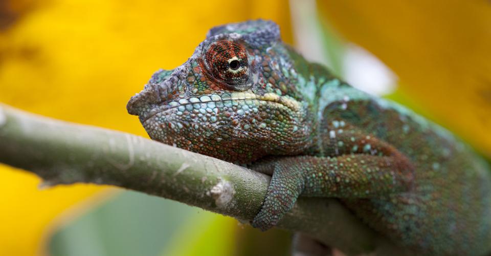 Panther chameleon, Andasibe Reserve, Madagascar