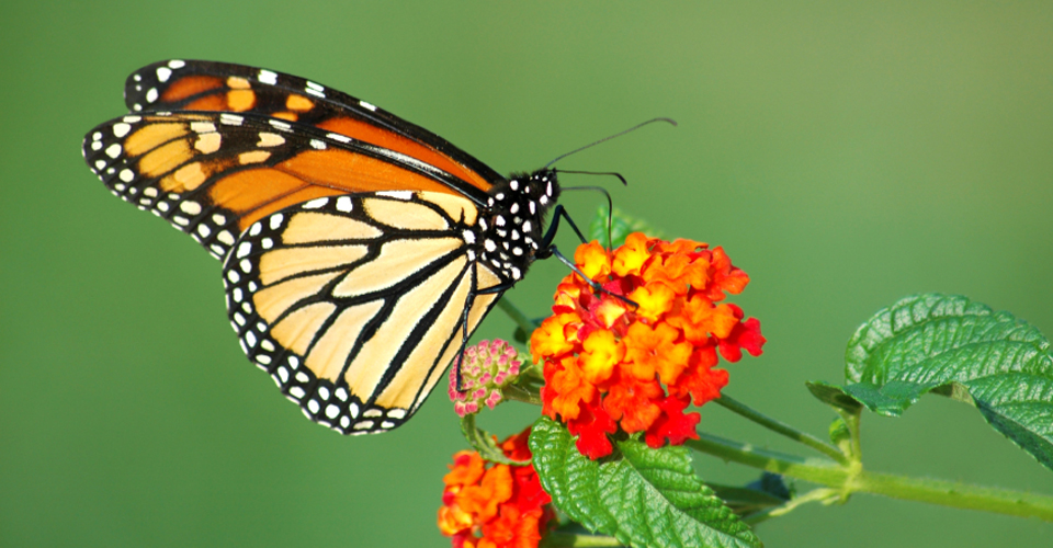 Monarch butterfly, Mexico