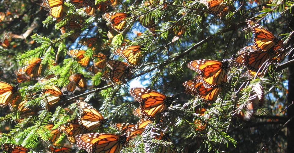 Monarch butterflies, Piedra Herrada Butterfly Sanctuary, Mexico