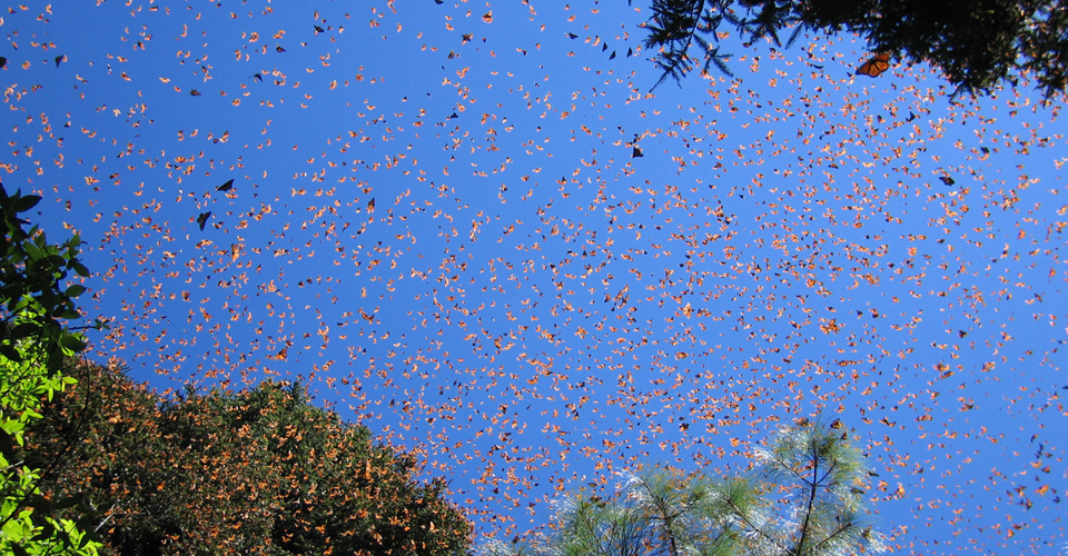 Monarch butterflies, El Rosario Butterfly Sanctuary, Mexico