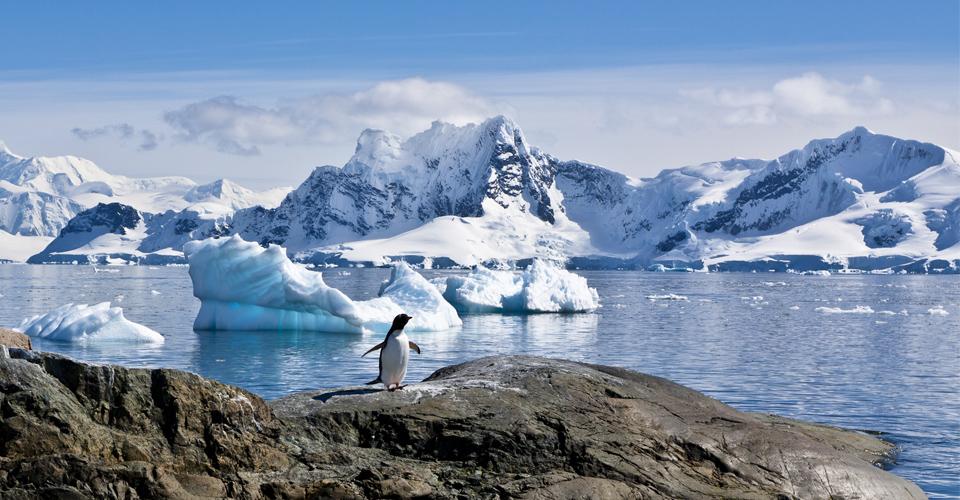 Gentoo penguin, Paradise Bay, Antarctic Peninsula