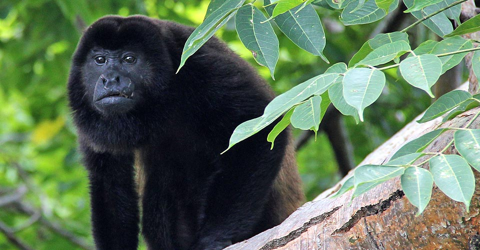 Howler monkey, Baboon Sanctuary, Belize