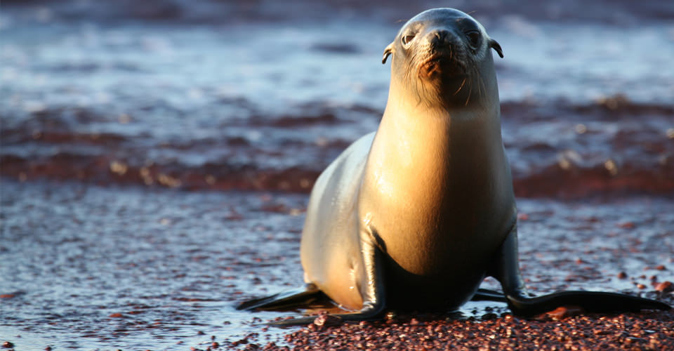 Galapagos sea lion, Galapagos Islands, Ecuador