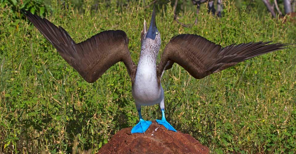 Blue-footed booby, North Seymour, Galapagos Islands, Ecuador