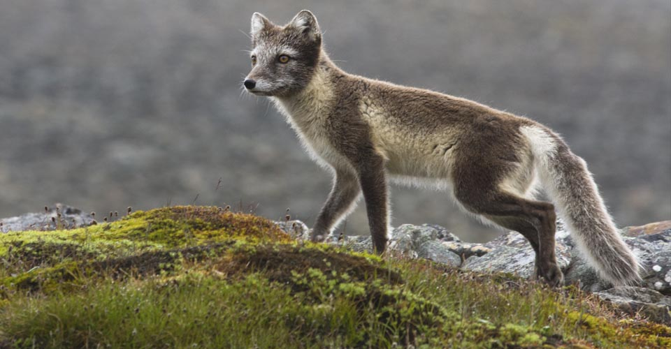 Arctic Fox, Sermilik Fjord, Greenland
