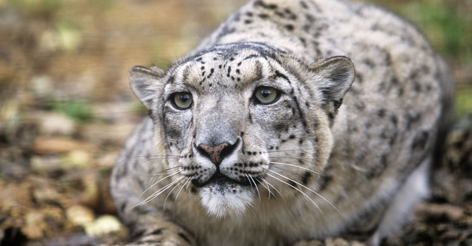 Snow leopard, Yamaat Valley, Mongolia