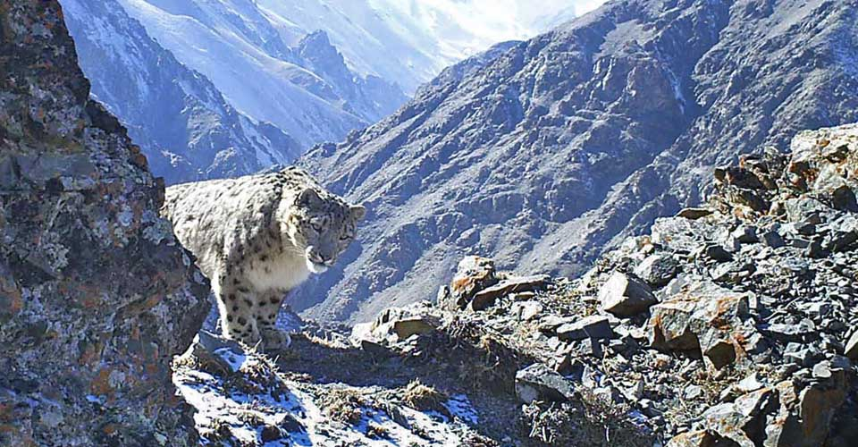 Snow Leopard, Mongolia. Remote camera donated by Nat Hab & Guests