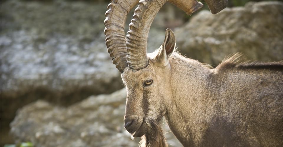 Siberian ibex, Khar Us Nuur National Park, Mongolia