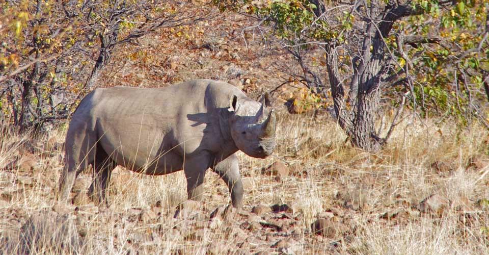 Black rhino, Ongava Private Reserve, Etosha, Namibia