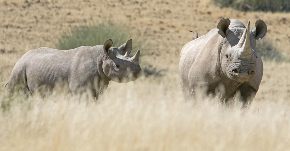Black rhino, Palmwag Concession, Namibia